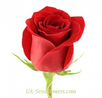 Buy Rose Freedom Ecuador cheap with delivery to Kiev and Ukraine