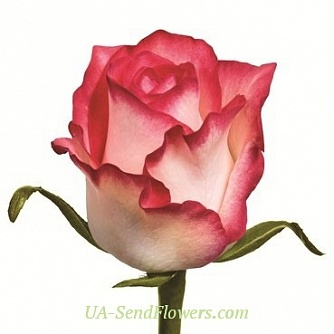 Buy Rose Jamil cheap with delivery to Kiev and Ukraine