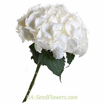 Buy White Hydrangea cheap with delivery to Kiev and Ukraine