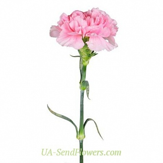 Buy Pink carnation cheap with delivery to Kiev and Ukraine