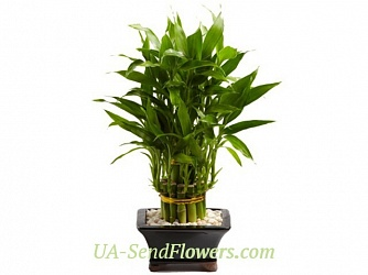 Buy Houseplant Bamboo cheap with delivery to Kiev and Ukraine