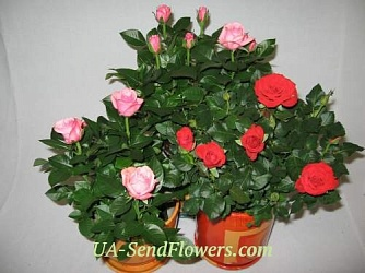 Buy Houseplant Rose cheap with delivery to Kiev and Ukraine