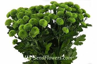 Buy Santini Chrysanthemum green cheap with delivery to Kiev and Ukraine