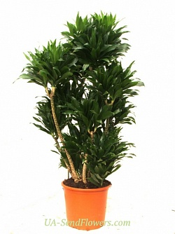 Buy Houseplant Dracaena (large) cheap with delivery to Kiev and Ukraine