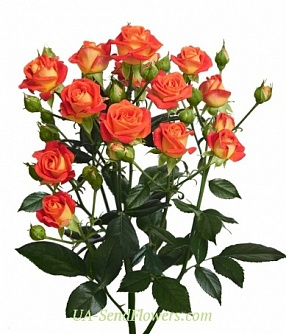 Buy Rose Spray Fiyesta Bubbles cheap with delivery to Kiev and Ukraine