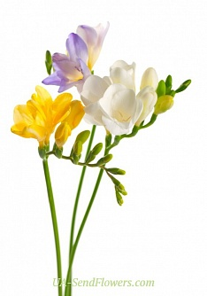 Buy Freesia cheap with delivery to Kiev and Ukraine