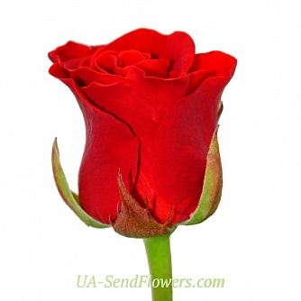 Buy Rose El Toro cheap with delivery to Kiev and Ukraine