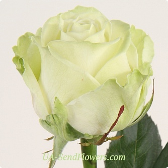 Buy Rose Avalanche cheap with delivery to Kiev and Ukraine