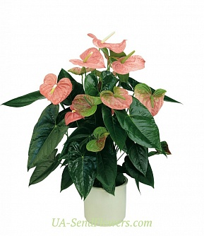 Buy Houseplant Anthurium cheap with delivery to Kiev and Ukraine