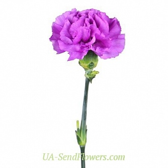 Buy Purple carnation cheap with delivery to Kiev and Ukraine