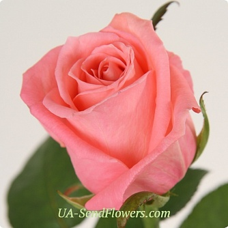 Buy Rose Karina cheap with delivery to Kiev and Ukraine