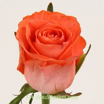 Buy Rose Wow cheap with delivery to Kiev and Ukraine