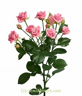 Buy Rose Spray Odilia cheap with delivery to Kiev and Ukraine