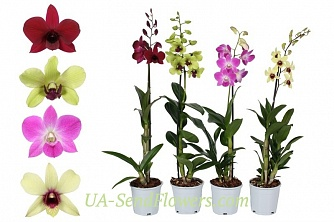 Buy Houseplant Dendrobium cheap with delivery to Kiev and Ukraine