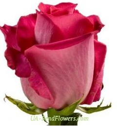 Buy Rose Rivayvl Holland cheap with delivery to Kiev and Ukraine