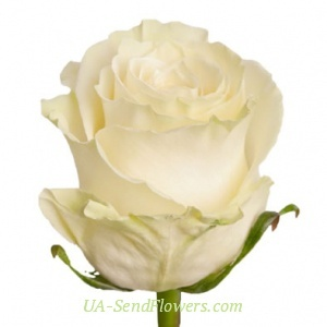 Buy Rose Mondial Ecuador cheap with delivery to Kiev and Ukraine
