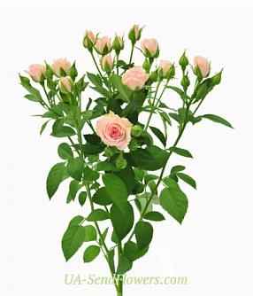 Buy Rose Spray Lydia cheap with delivery to Kiev and Ukraine