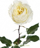England Rose Patience