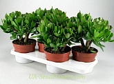 Houseplant Crassula (money tree)