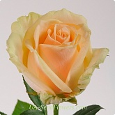 Rose cream, Peach Avalanche grade wholesale