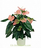 Houseplant Anthurium