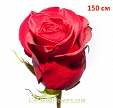 Rose import, Freedom 150cm grade wholesale