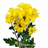 Chrysanthemum yellow daisy