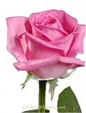 Rose pink, aqua grade wholesale
