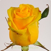 Yellow Rose, Penni Leyn grade wholesale